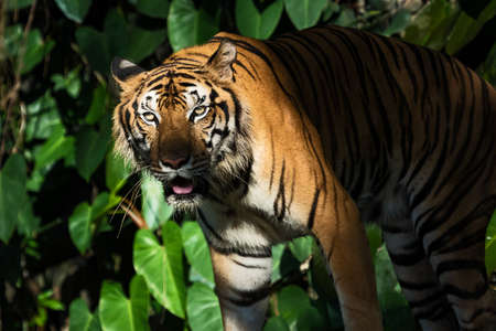 The tiger walks in the forest to find food. (Panthera tigris corbetti) in the natural habitat, wild dangerous animal in the natural habitat, in Thailand.