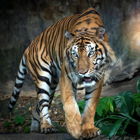 El tigre se pone de pie para mirar algo con interés. (Panthera tigris corbetti) en el hábitat natural, animal salvaje peligroso en el hábitat natural, en Tailandia.