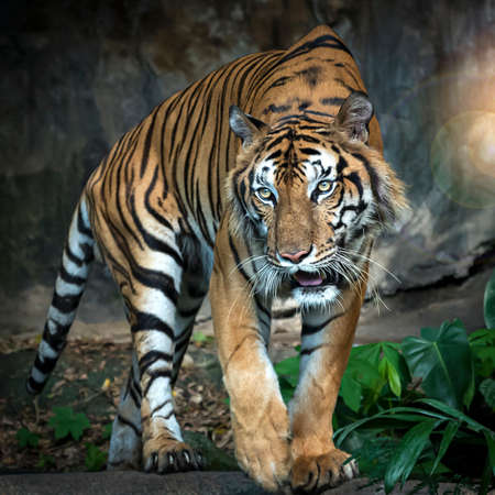 The tiger stands to look at something with interest. (Panthera tigris corbetti) in the natural habitat, wild dangerous animal in the natural habitat, in Thailand.