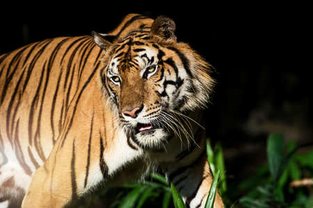The tiger is looking for food in the forest. (Panthera tigris corbetti) in the natural habitat, wild dangerous animal in the natural habitat, in Thailand. Foto de archivo