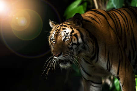 The tiger went out from the shadows and was watching something. (Panthera tigris corbetti) in the natural habitat, wild dangerous animal in the natural habitat, in Thailand.