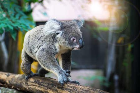 A wild Koala climbing the branch