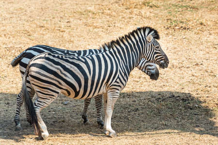 Two zebras standing in the shade Because the weather is very hot