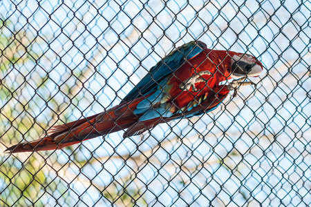 A blue and red macaw locked inside a cage