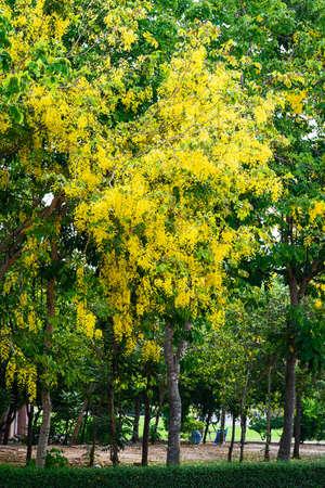 Cassia fistula flower in the park. 版權商用圖片 - 150109664