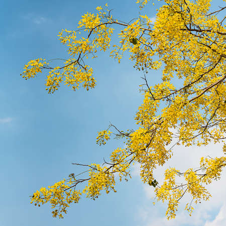 Cassia flower has a backdrop against the sky.