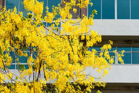 Cassia flower has a backdrop as an office building.