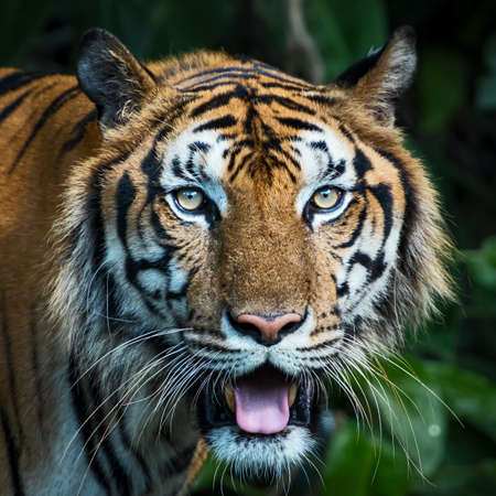 Close-up of a tiger's face. (Panthera tigris corbetti) in the natural habitat, wild dangerous animal in the natural habitat, in Thailand. 版權商用圖片 - 150149428