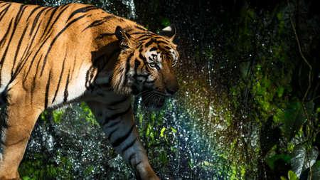 Tiger is ambushing wildlife for food 写真素材