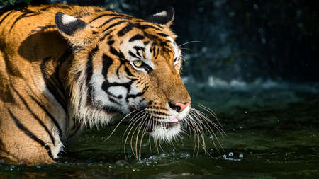 The tiger stood in the pond and looked something seriously. (Panthera tigris corbetti) in the natural habitat, wild dangerous animal in the natural habitat, in Thailand.