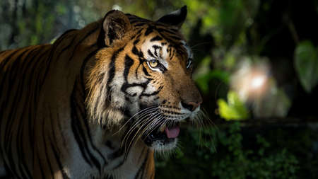 The tiger went out from the shadows and was watching something. (Panthera tigris corbetti) in the natural habitat, wild dangerous animal in the natural habitat, in Thailand. 版權商用圖片 - 150155994