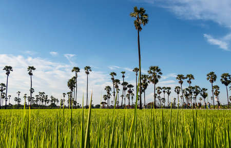 Green rice fields with Borassus Flabellifer (Sugar palm trees) and has a blue sky background
