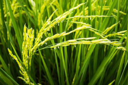 Close-up rice output green nature rice field, Rice spike in Thailand