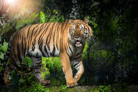 The tiger is looking for food in the forest. (Panthera tigris corbetti) in the natural habitat, wild dangerous animal in the natural habitat, in Thailand. 版權商用圖片 - 151100923