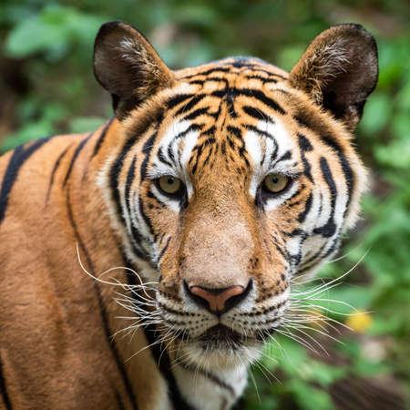 Close-up of a tiger's face. (Panthera tigris corbetti) in the natural habitat, wild dangerous animal in the natural habitat, in Thailand. 版權商用圖片 - 151100965