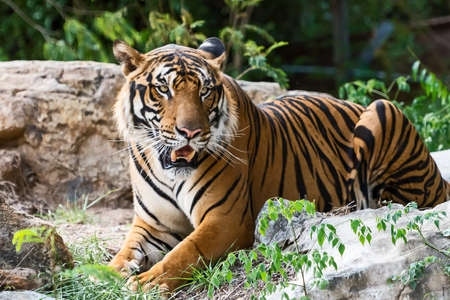 Tiger resting during the day in a zoo enclosure / wild animal in nature