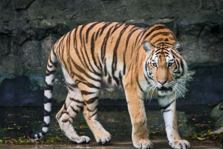 Young tiger is creeping for prey / wild animal in nature 写真素材