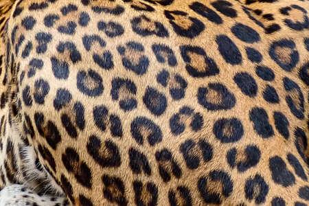 Leopard fur background (real fur) 版權商用圖片 - 151176565