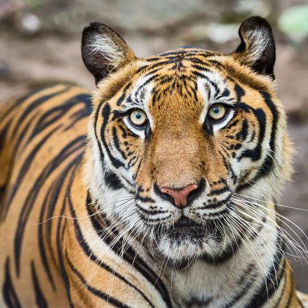 Close-up of a tiger's face. (Panthera tigris corbetti) in the natural habitat, wild dangerous animal in the natural habitat, in Thailand. 版權商用圖片 - 151797300