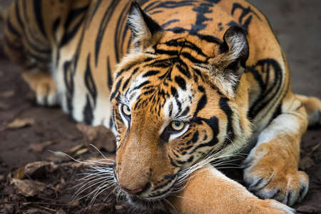 Tiger resting during the day in a zoo enclosure / wild animal in nature Foto de archivo
