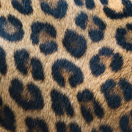 Leopard fur background (real fur) 版權商用圖片 - 151861483