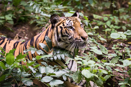 The tiger is looking for food in the forest. (Panthera tigris corbetti) in the natural habitat, wild dangerous animal in the natural habitat, in Thailand. 版權商用圖片 - 151798059