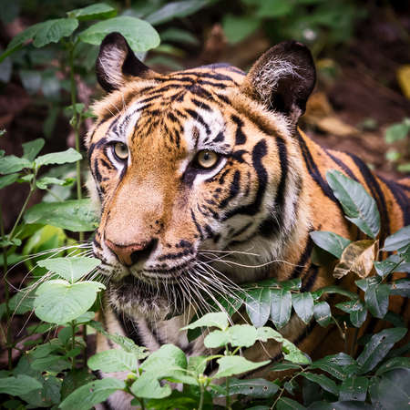 The tiger is looking for food in the forest. 写真素材