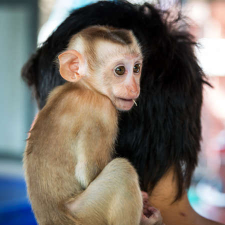 The little monkey was sitting on the handler's shoulder. Stock Photo