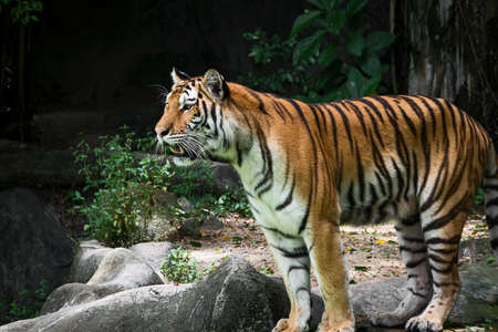 The tiger stands to look at something with interest.