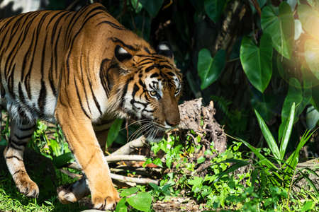 Young tiger is creeping for prey / wild animal in nature Stock Photo
