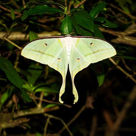 moon moth - Actias ningpoana, a beautiful yellow-green moth from Asian forests, Thailand. Stock fotó