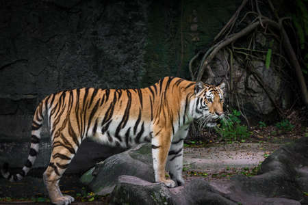 White tiger is looking for food in the forest.