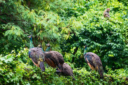 A group of wild peacocks sits on a metal fence on the edge of the forest after the rain.