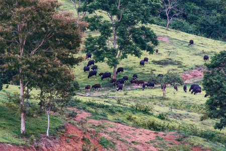 Group of bison (gaur bosguarus) blurred in nature on green background Stock Photo