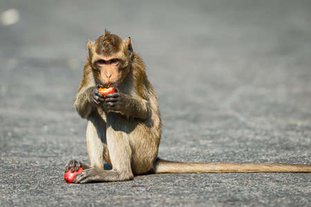 Small monkeys, tropical jungle, Thailand eating tomatoes on a country road. Stock Photo