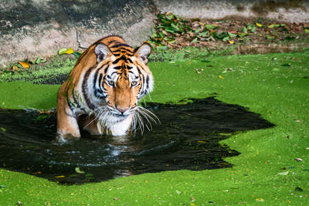 The tiger stood in the pond and looked something seriously. Stock Photo