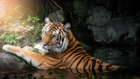 The tiger is lying in the pond for cooling.
