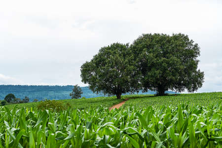 Two big trees with corn fields in the foreground, with the sky and mountains in the background.