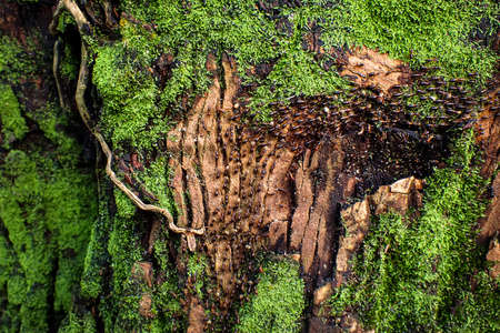 Termite Path on Bark and Moss, Termites are eusocial insects that are classified at the taxonomic rank of infraorder Isoptera
