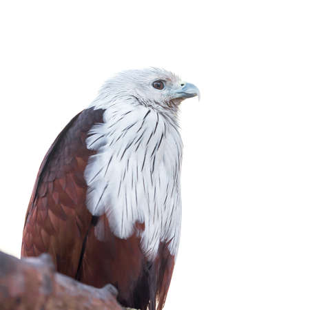 The brahminy kite (Haliastur Indus), also known as the red-backed sea-eagle, is a medium-sized bird of prey. They are found in the Indian subcontinent, Southeast Asia, and Australia.