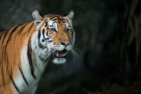 The tiger is looking for food in the forest. Stock Photo