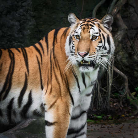 The tiger is looking for food in the forest. (Panthera tigris corbetti) in the natural habitat, wild dangerous animal in the natural habitat, in Thailand.