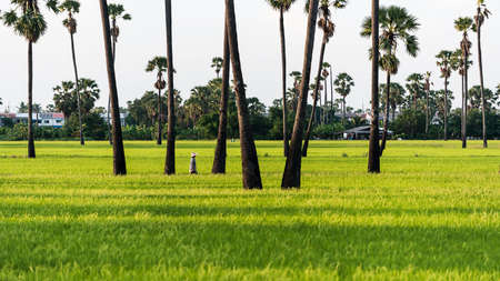 Palm trees in the green rice fields in the evening
