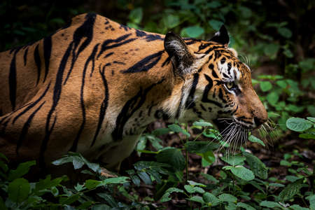 The tiger is crawling towards its prey to hunt for food. Stock Photo
