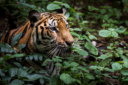 A tiger lurks in the forest waiting for prey.