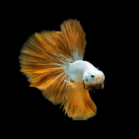 Siamese fighting fish yellow fancy halfmoon Betta freeze smooth movement. Isolated on black background.stop action.