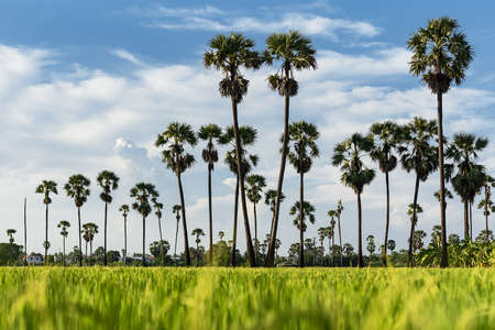 A palm garden with a foreground rice field and Sky backdrop Stock Photo