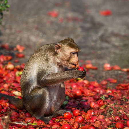 The monkeys are eating the tomatoes that the villagers bring. 免版税图像