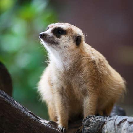 Meerkat watches the impending dangers.
