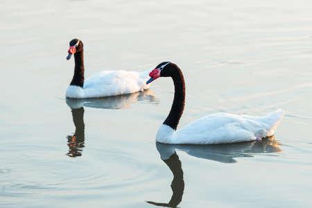 Black-necked swan or Cygnus melancoryphus also known as black-necked swan, has a black head and neck, white body. Wild animals